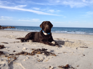 Barnaby- Endless Mt. Labradors