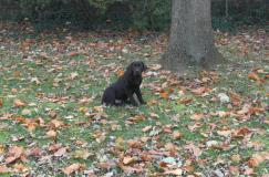 Bear (sicily x spencer) sitting in the yard- Endless Mt. Labradors