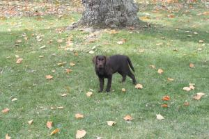 Bear (sicily x spencer) standing in the yard- Endless Mt. Labradors