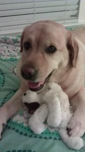 Carley (essence x romeo)- Endless MT. Labradors