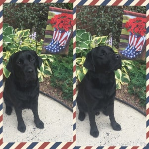 Deacon (Loretta x Mackie) black male labrador- Endless Mt. Labradors