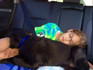 Grissom (julia x manny) sleeping on his girl in the car- Endless Mt. Labradors
