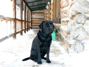 Iggy- Endless Mt. Labradors