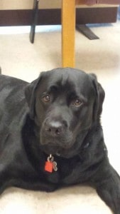 Josie (Daizy x Devon) certified therapy dog- Endless Mt. Labradors
