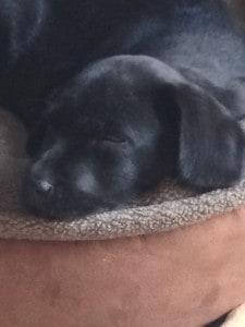 chai x manny puppy- Endless Mt. Labradors