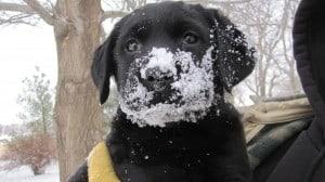 Lana x Rio pup- Endless Mt. Labradors