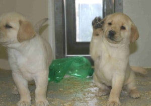 Endless Mountain Labrador pups