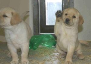 Endless Mountain Labrador pups