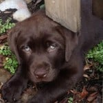 Rochet/Stealer pup- Endless Mt. Labradors