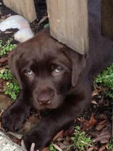 Rochet/Stealer pup- Endless Mt. Labradors