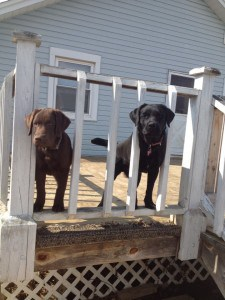 Zoey and Zarley- Endless Mt. Labradors