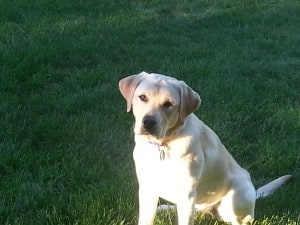 Zoey (Quill x Manny)- Endless Mt. Labradors