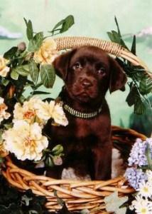 Endless Mountain Labs Labrador puppy