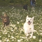 Endless Mountain Labradors dogs