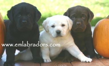 Mecca, Paige, Rocco- Endless Mountain Labradors
