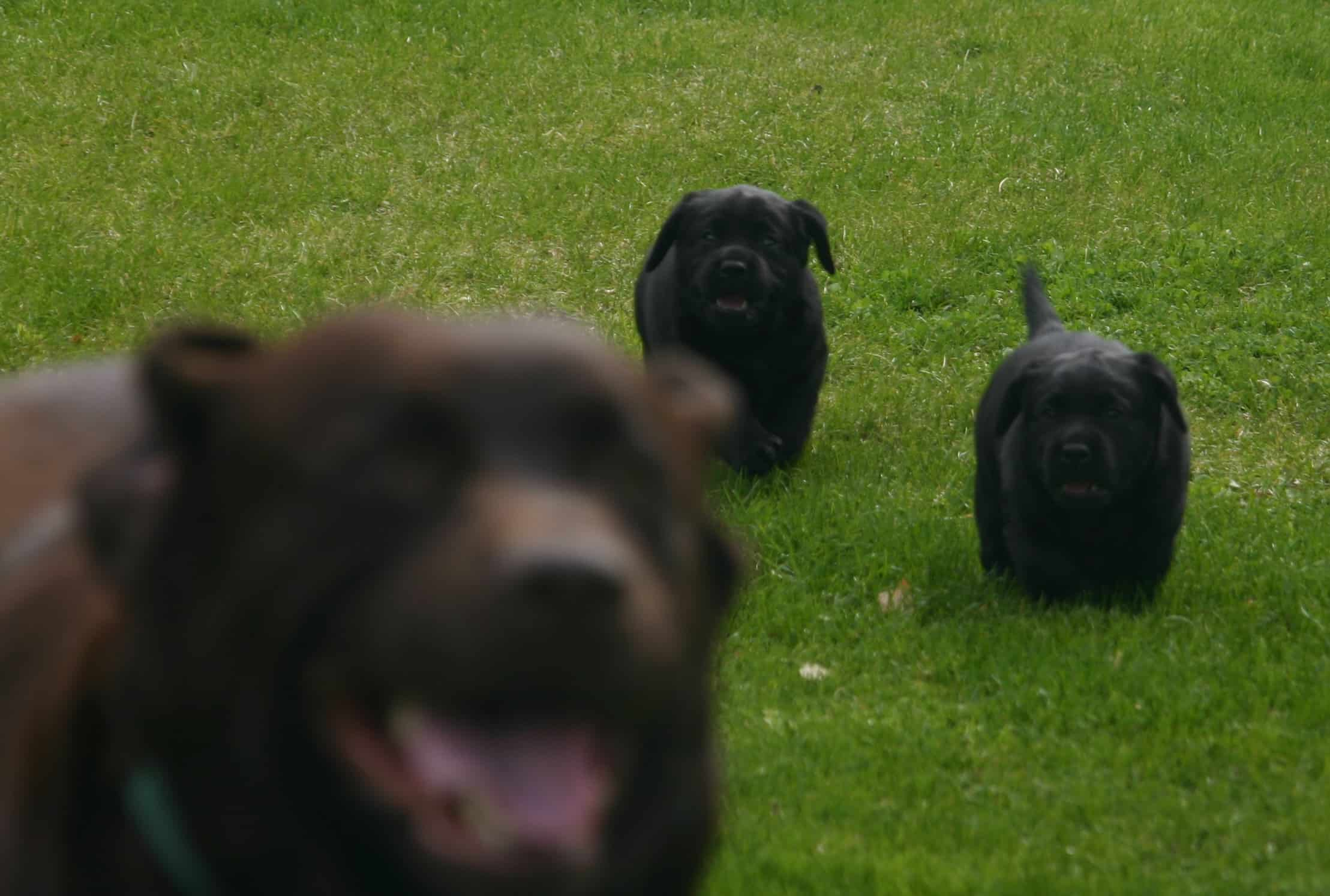 pups chasing momma - Endless Mt. Labradors
