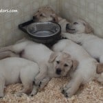 Julia pups- Endless Mt. Labradors