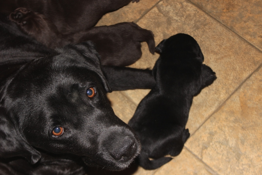 Hattie and her puppies- Endless Mt. Labradors