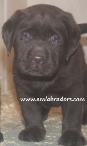 Cuddles pup- Endless Mt. Labradors