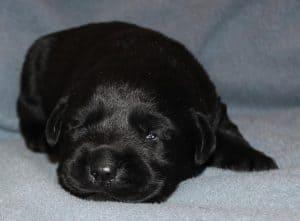black male puppy- Endless Mt. Labradors