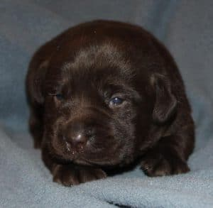chocolate male puppy- Endless Mt. Labradors