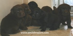 Cuddles puppies- Endless Mt. Labradors
