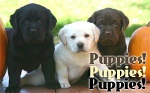 Karma pups - Endless Mt. Labradors