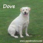 Dove- Endless Mt. Labradors