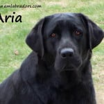 Aria- Endless Mt. Labradors