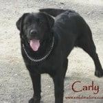 Carly- Endless Mt. Labradors