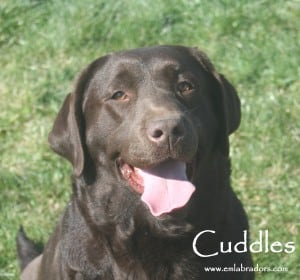 Cuddles- Endless Mt. Labradors