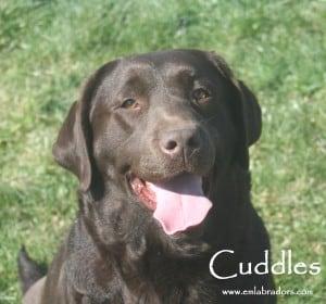 Cuddles- Endless Mt. Labradors