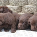 Cuddles pups- Endless Mt. Labradors