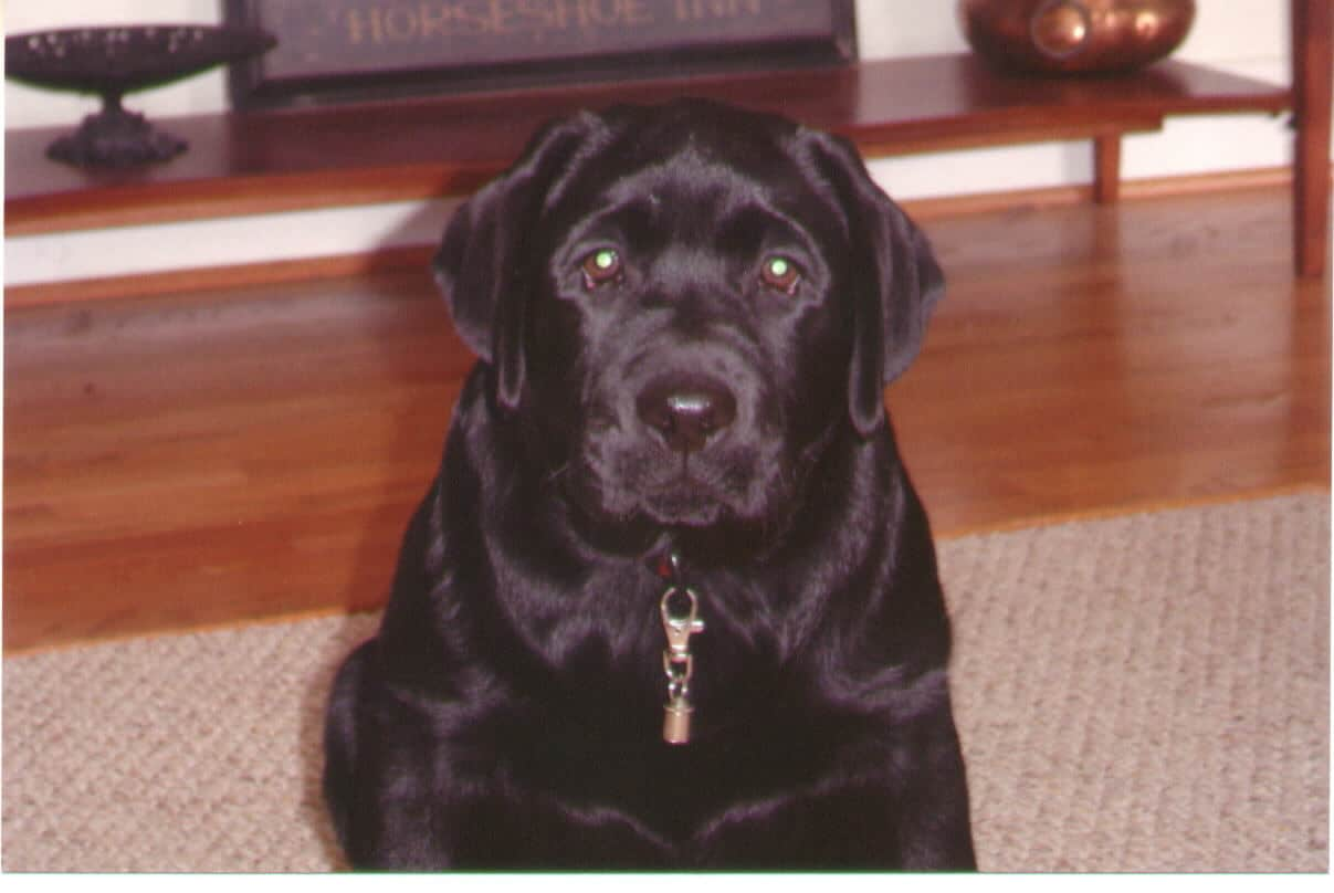 Puppy Proofing Your Home – Labradors.net