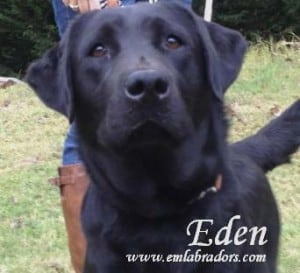 Eden- Endless Mt. Labradors