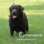 Female Chocolate Labrador- Genevieve