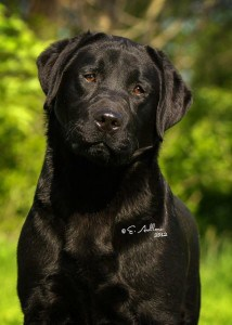 Henley- Endless MT. Labradors