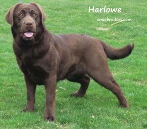 Harlowe x Sterling- Endless Mt. Labradors