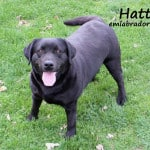 Hattie- Endless Mt. Labradors