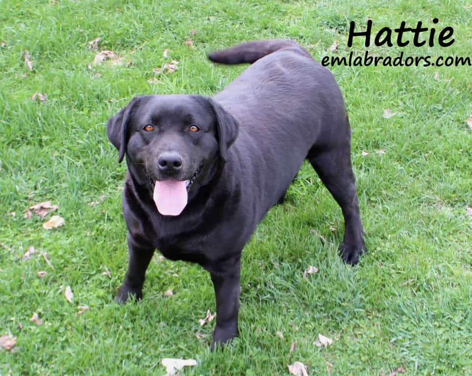 Hattie- Endless Mt. Labradors