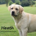 Heath- Endless Mt. Labradors