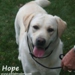 Hope- Endless Mt. Labradors