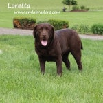 Loretta- Endless Mt. Labradors