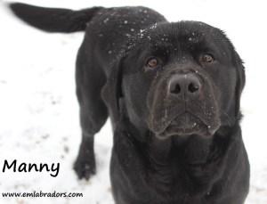 Manny- Endless Mt. Labradors
