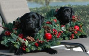 Black Female Labs dressed for Christmas- Endless Mt. Labradors
