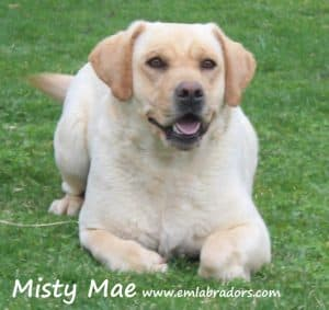 Misty Mae- Endless Mt. Labradors