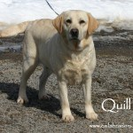 Quill- Endless Mountain Labradors