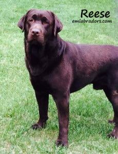 Reese- Endless Mt. Labradors chocolate male