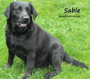 Sable- Endless Mt. Labradors
