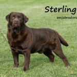 Sterling- Endless Mt. Labradors